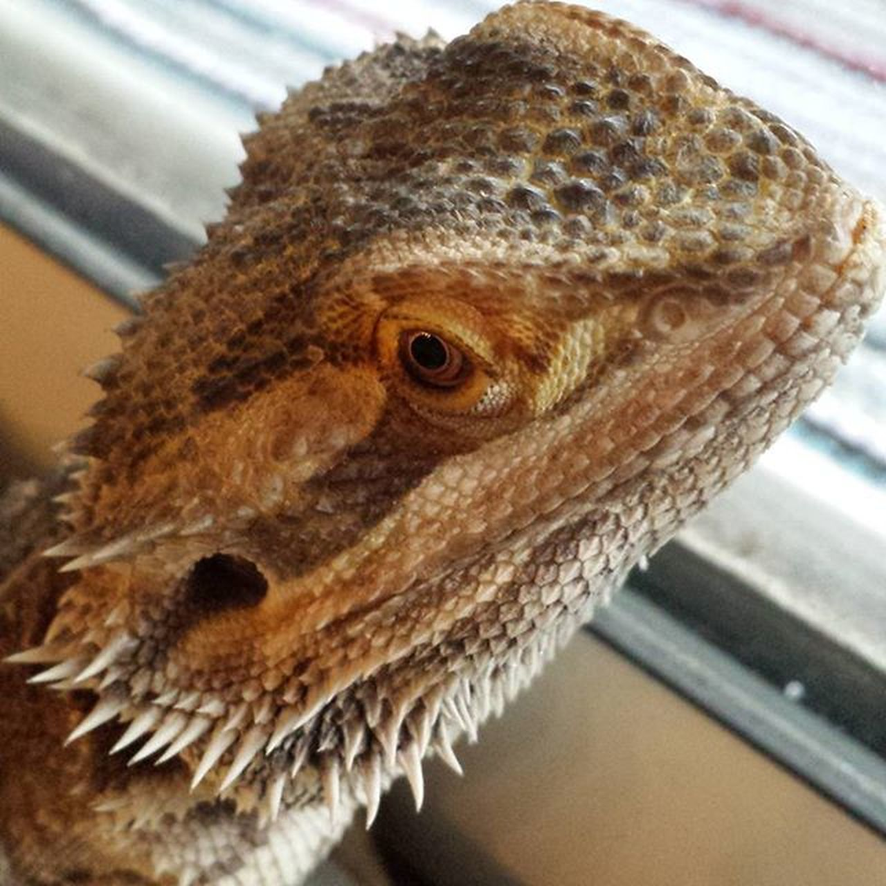 bearded dragon, indoors, one animal, close-up, animal themes, animals in the wild, reptile, no people, day