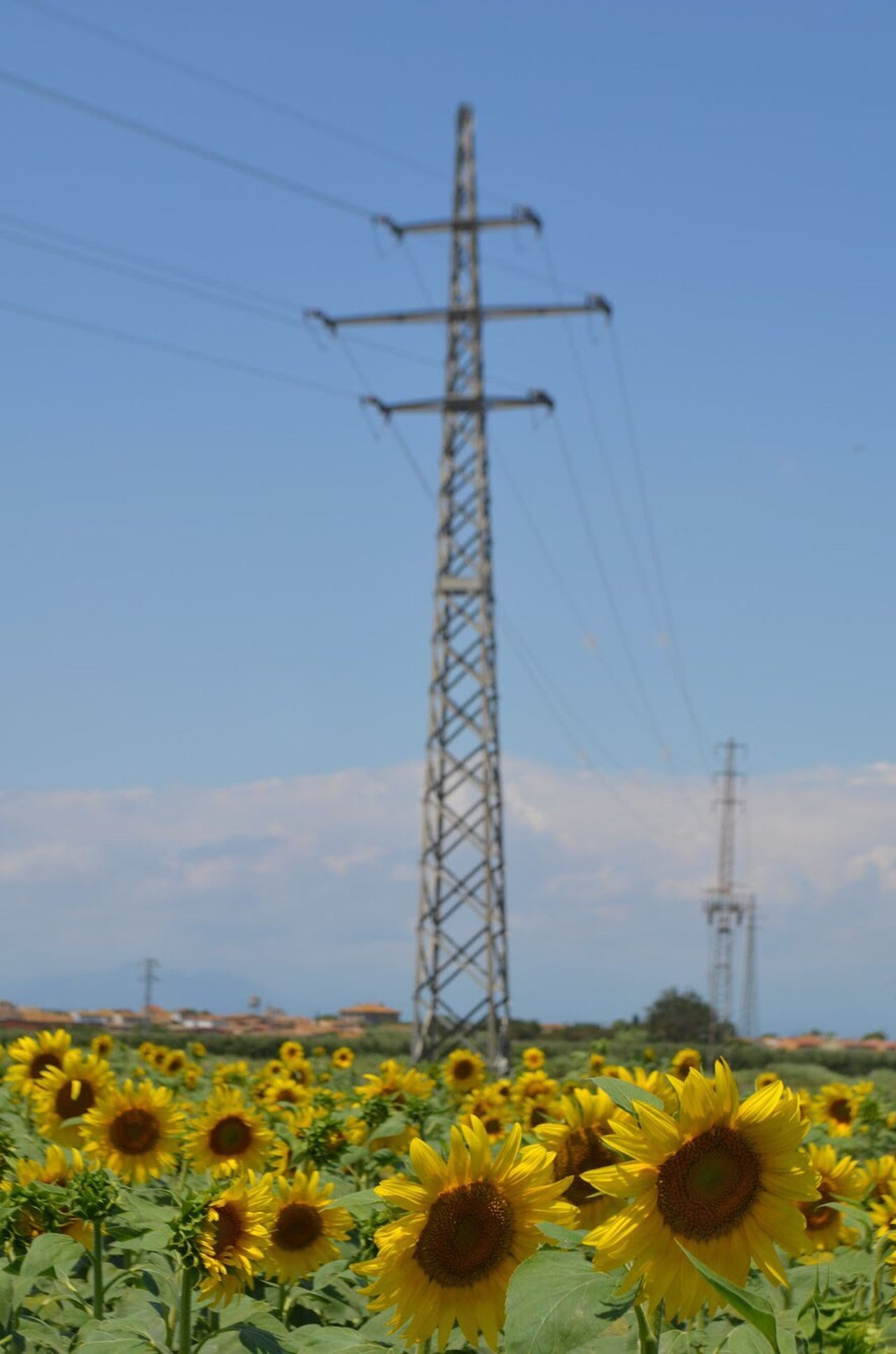 Flower Cable Sky Electricity Pylon No People Growth Electricity  Connection Plant Nature Yellow Day Technology Outdoors Agriculture Alternative Energy Low Angle View Fragility Freshness Beauty In Nature Sunflower Landscape_photography Landscape_Collection Eye4photography  EyeEm Gallery