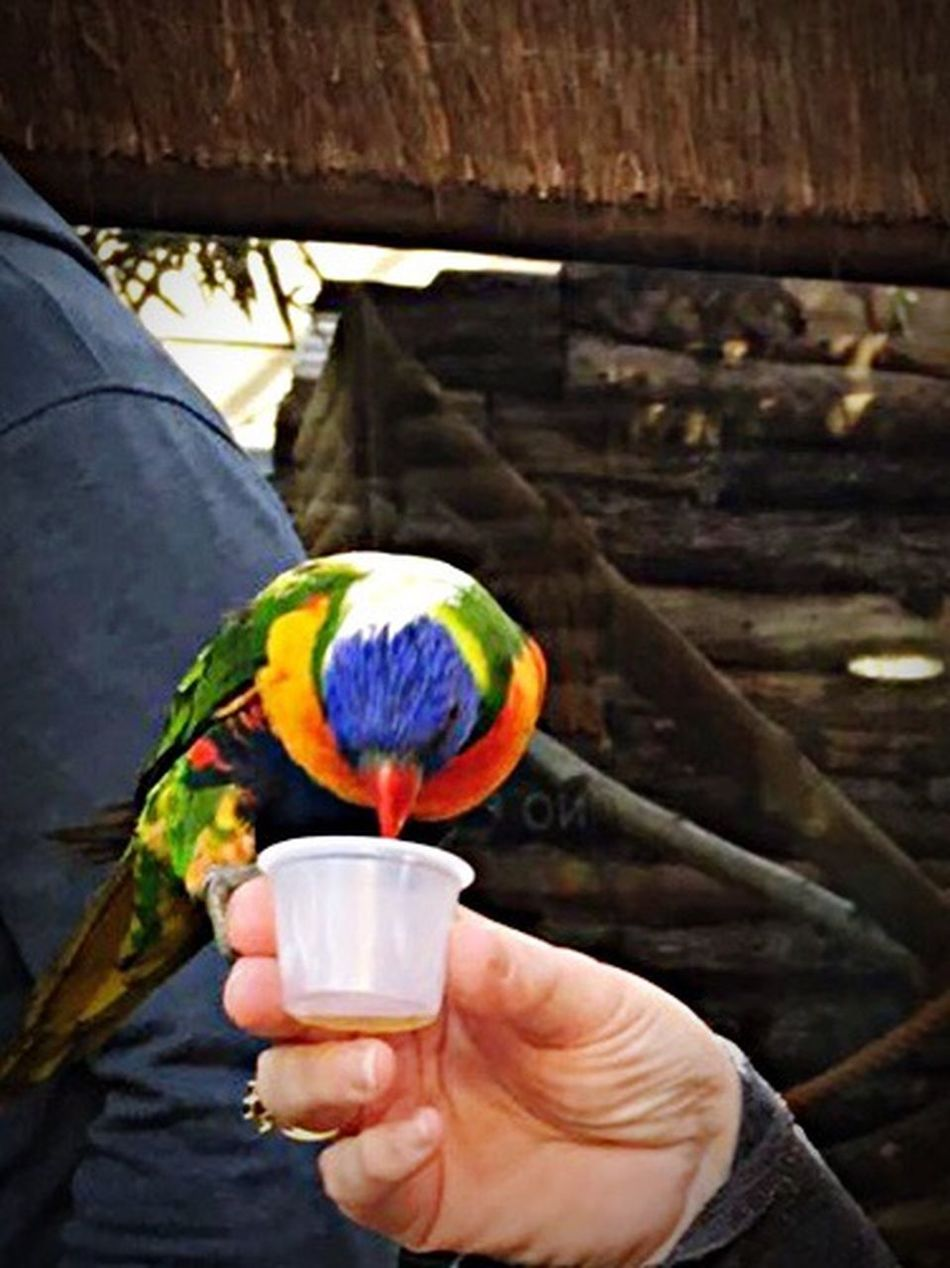 Human Hand Human Body Part One Person Personal Perspective Holding Real People Human Finger Unrecognizable Person Bird Parrot Multi Colored Perching Drink One Animal Outdoors Animal Themes Lifestyles Day Rainbow Lorikeet Close-up