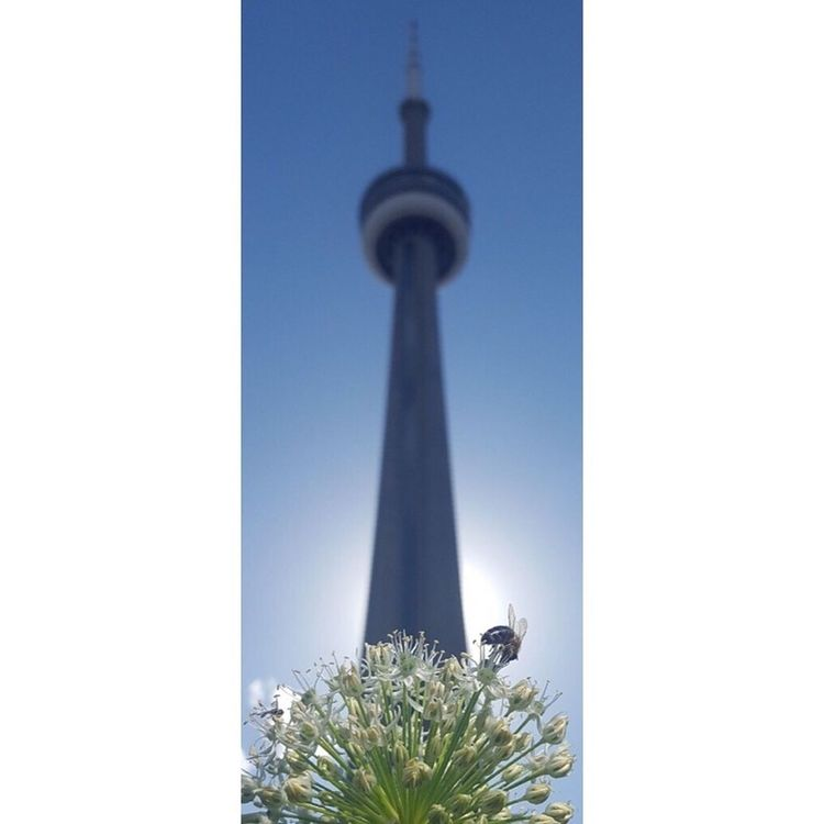 In the shadow of man the humble bumble bee works away. Tower Bee CN Tower - Toronto Bumble Bee Collecting Pollen NatureIsBeautiful Outdoors No People
