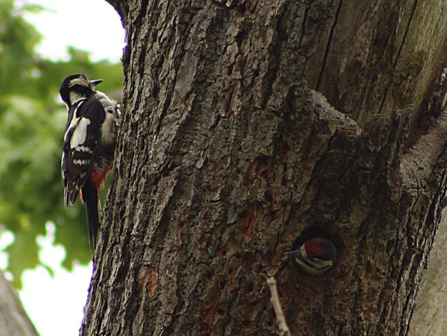 Love this one! Great Spotted Woodpecker Bird Photography Birds Of EyeEm  Wildlife Photography Wildlife Birds Nature_collection Naturelovers Springwatch