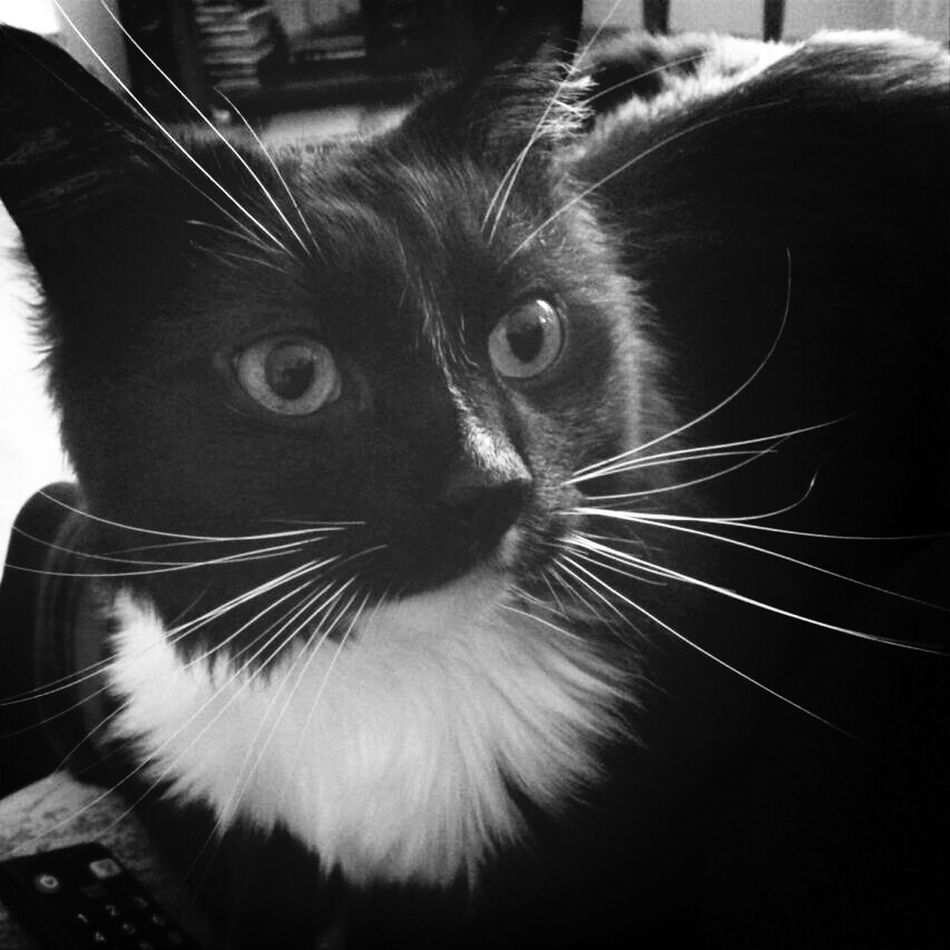 Cat Animals Black & White Keksas