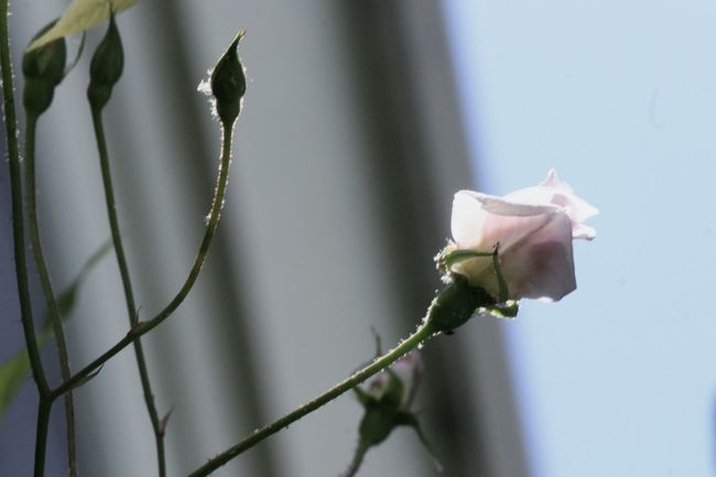 Reach For The Sky Grow Up Rose A Rose Baby Blue&pink Scale