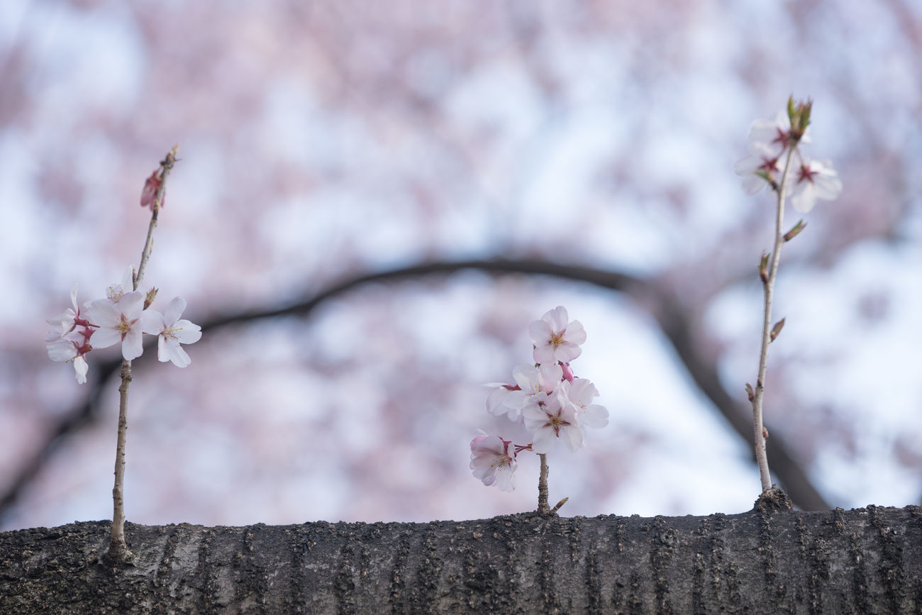 Happy Tree Friends Beauty In Nature Blooming Blossom Branch Branches Cherry Blossom Cherry Blossoms Chidorigafuchi Close-up Day Flower Flower Head Fragility Freshness Growth Japan Nature No People Outdoors Petal Pink Color Sakura Sky Springtime Tree