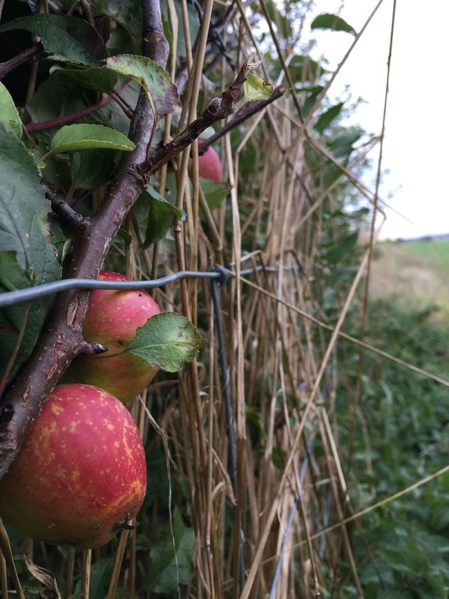 Fruit Growth Close-up Autumn Colors Autumn Fruits Hedgerow Leaf Plant Focus On Foreground Freshness Nature Red Day Outdoors Green Color Thorn Apples Agriculture Tranquility Beauty In Nature Growing