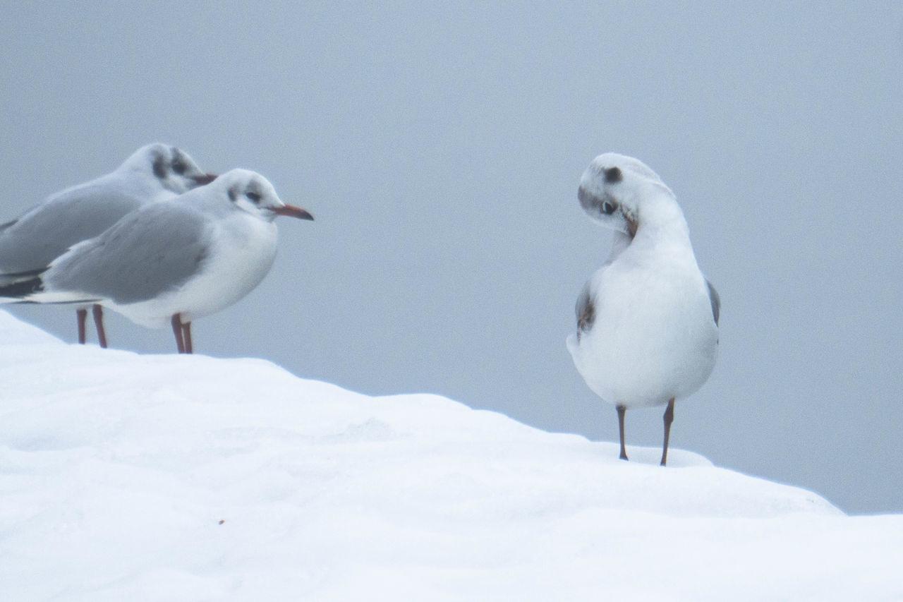 Animal Themes Animals In The Wild Bird Gull Riverbank Snow Winter Winter