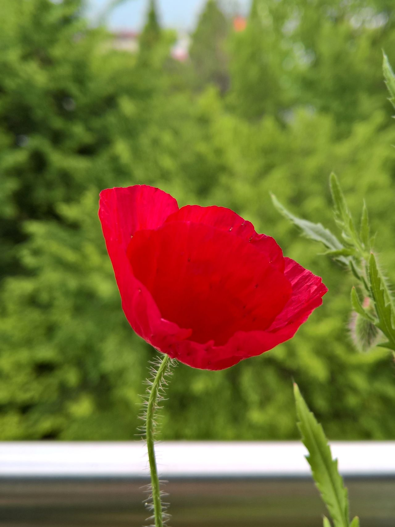Balcony Balcony View Beauty In Nature Blooming Close-up Flower Flower Head Focus On Foreground Fragility Freshness Growth Nature Outdoors Petal Plant Poppy Poppy Flowers Spring Flowers Springtime Summer Summertime