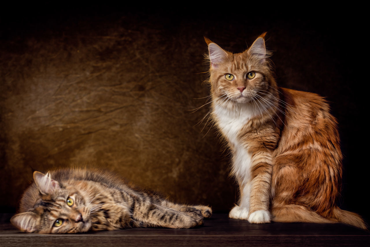 Mother and Daughter female Maine Coon Cats Animal Themes Day Domestic Animals Domestic Cat Feline Friendship Ginger Cat Indoors  Kitten Looking At Camera Maine Coon Cat Mammal No People Persian Cat  Pets Portrait Siamese Cat Sitting Tabby Cat Togetherness Whisker