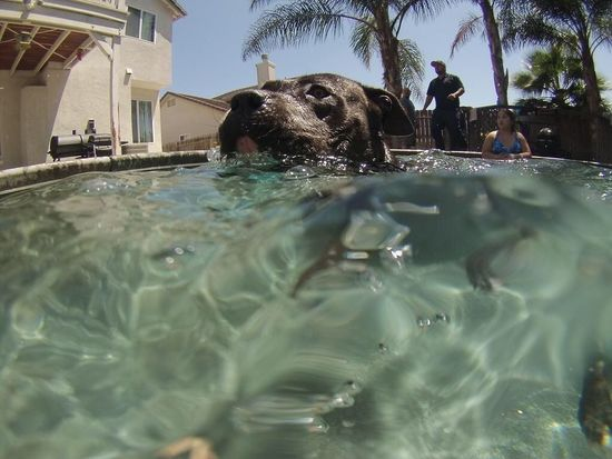 Summer Dogs my doggie Romeo ❤️ he loves swimming Pitbull