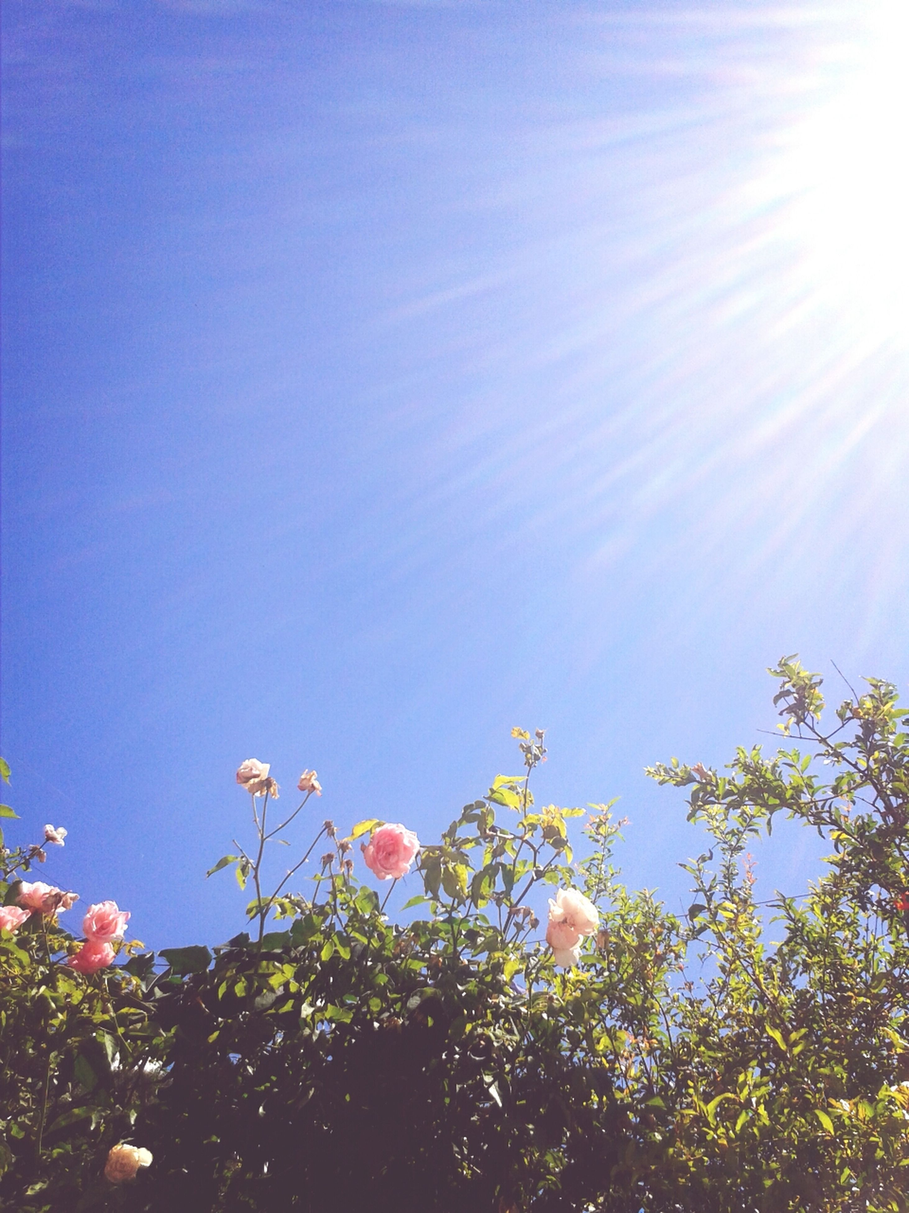 low angle view, growth, tree, sun, flower, beauty in nature, sunlight, clear sky, nature, freshness, sky, blue, sunbeam, lens flare, branch, fragility, tranquility, day, outdoors, sunny