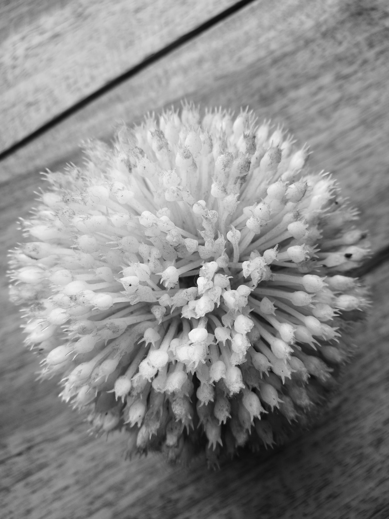 Nature Close-up Fragility No People Plant Outdoors Day Beauty In Nature Growth Freshness Flower Flower Head Cactus Nature Black & White Blackandwhite Black And White EyeEm Best Shots EyeEm Thailand EyeEmBestPics