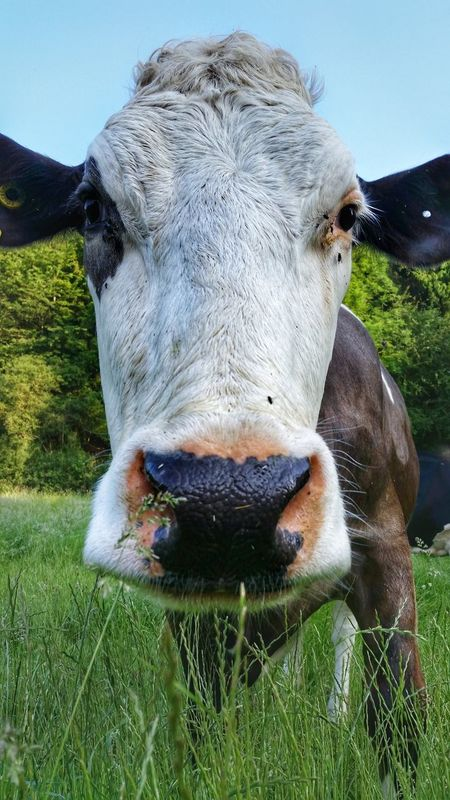 One Animal Mammal Animal Animal Themes Animal Head  Domestic Animals Portrait Close-up No People Outdoors Nature Looking At Camera Cowportrait Cowlover