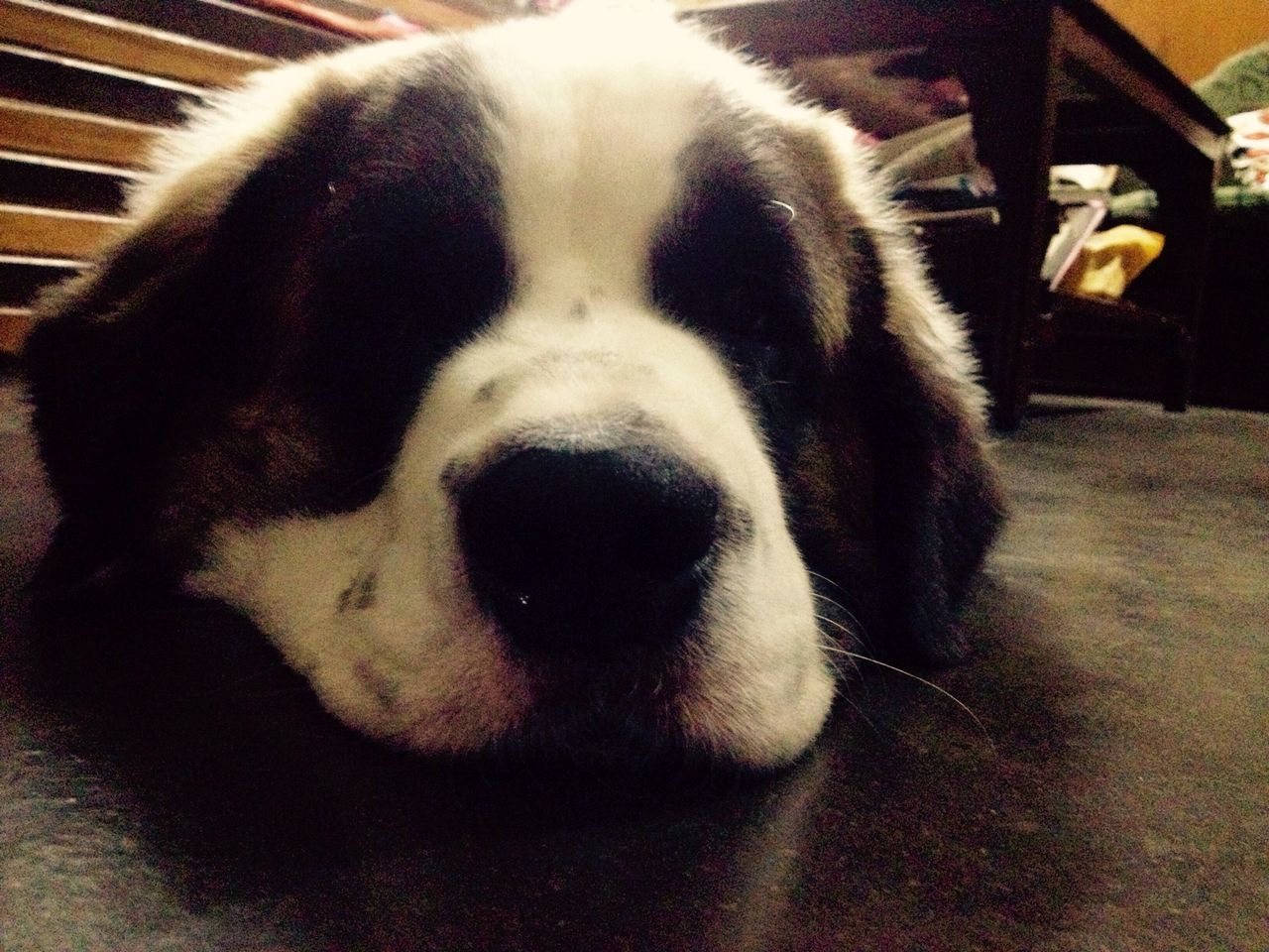 dog, one animal, pets, animal themes, domestic animals, mammal, indoors, close-up, no people, day