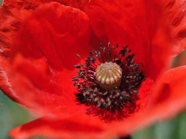 Delicate red... Red Red Flower Selective Focus Macro_collection Vscocam Found On The Roll Macro Beauty My Favorite Photo Macro_flower Poppy Flowers Poppy Flower Poppies  Colour Of Life Color Palette Flower Collection Macro Nature Beauty In Nature Colors Of Nature Details Of Nature Made In Romania Nature Colorful What's On The Roll Color Splash Eyeemphoto