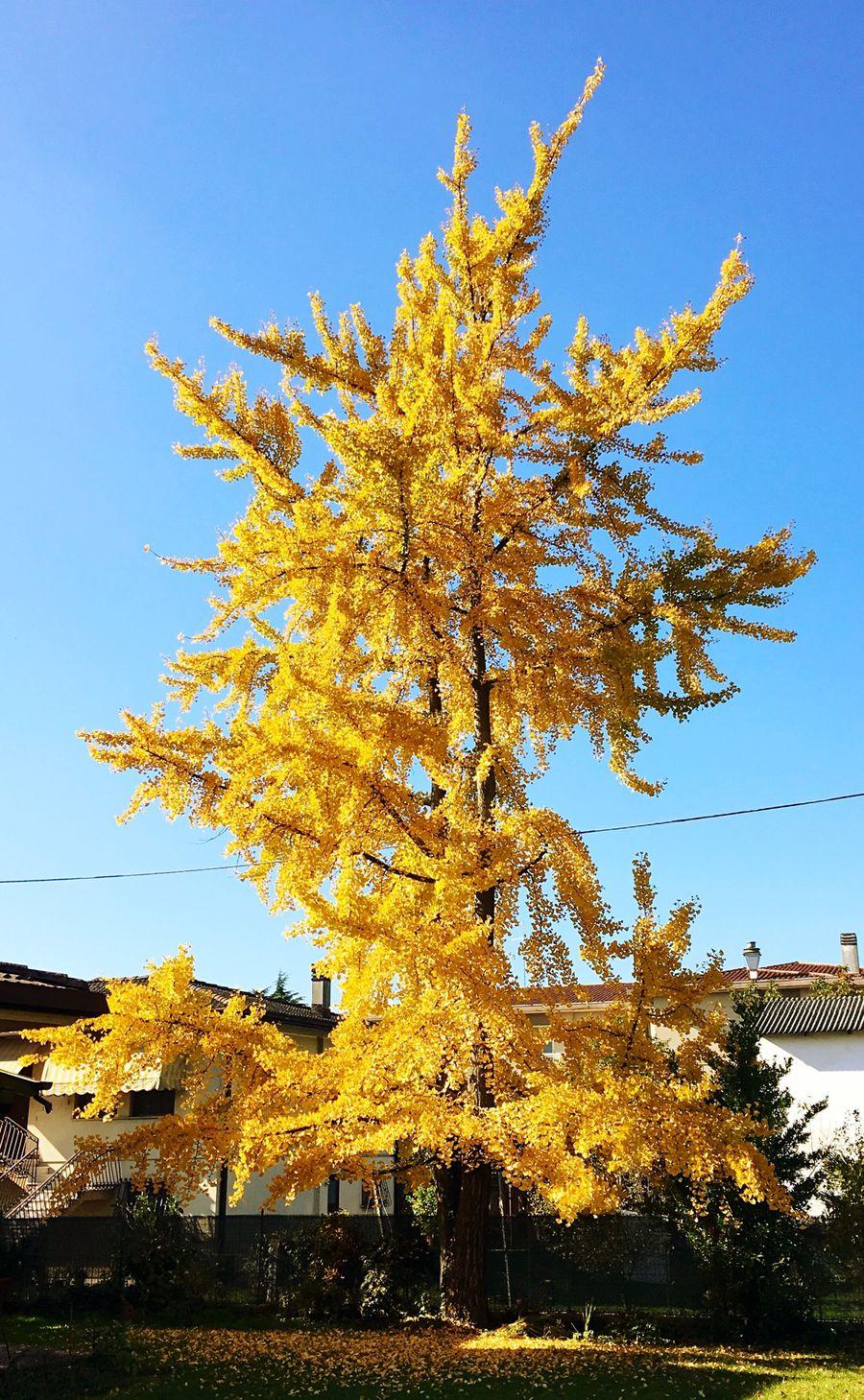 Yellow Yellow Tree. Tree Autumn Colors Autumn