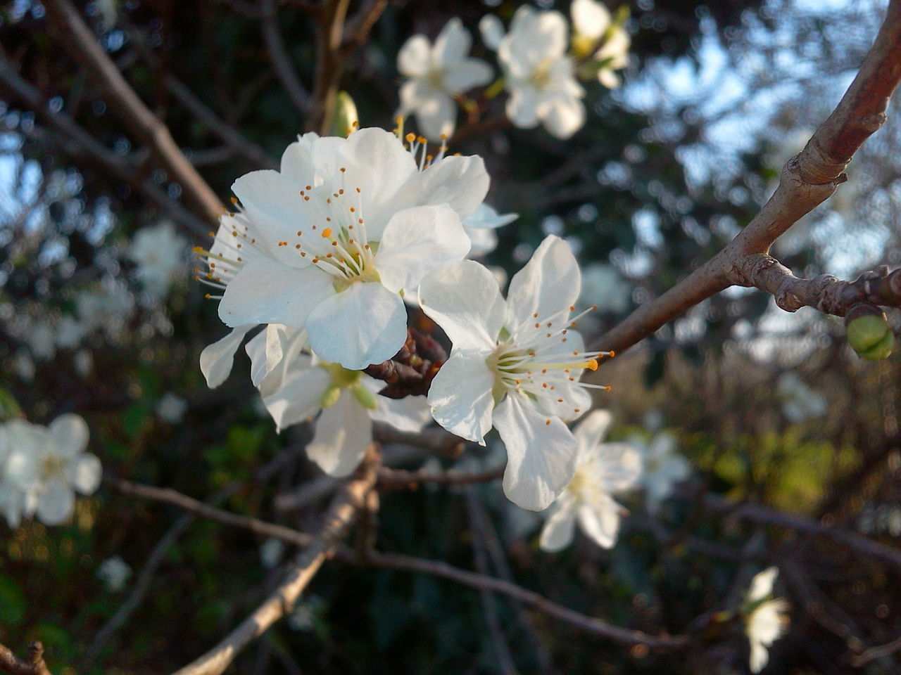 flower, white color, freshness, growth, fragility, petal, focus on foreground, tree, branch, flower head, beauty in nature, close-up, nature, blossom, blooming, cherry blossom, in bloom, white, pollen, twig, stamen, outdoors, day, cherry tree, no people, botany, plant, selective focus, softness