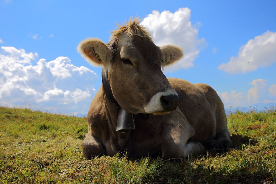 Happy cow in Switzerland. Agriculture Animal Animal Themes Break Content Cow Enjoying Life Eye4photography  Miles Away EyeEm Nature Lover Grounded Happy Healthy Heile Welt Landscape Livestock Nature One Animal Pasture Portrait Prättigau Relaxed Resting Satisfied  Young Cow