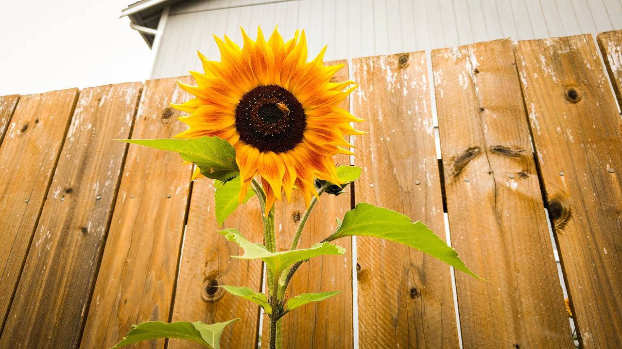 Beautiful stock photos of sunflower,  Architecture,  Built Structure,  Close-Up,  Day