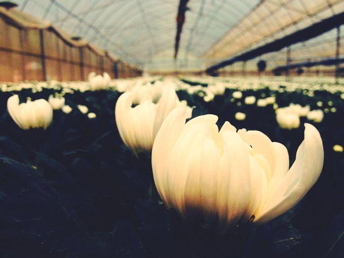 嵩明菊花展,Happy Flowers Flower Flowerporn
