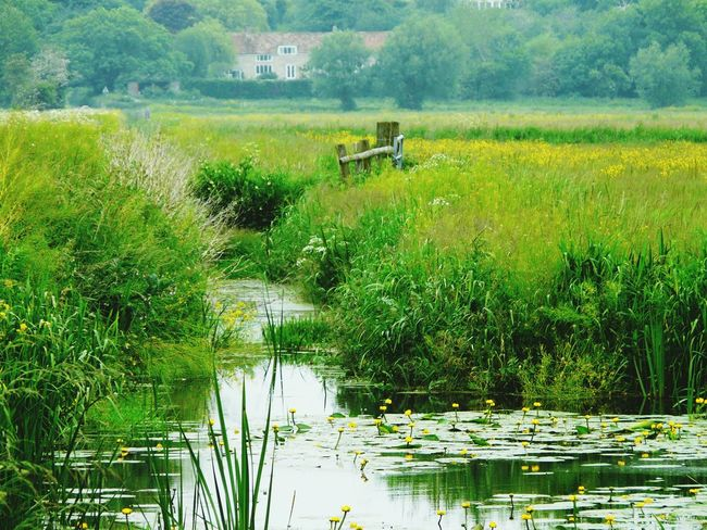Landscape Nature Photography [ Nature Somerset Levels Uk Natures Diversities Nature On Your Doorstep Relaxing Taking Photos Meadow Flowers Yeah Springtime! Water Lilies. Lilly Pads. Wild Flowers Buttre Cup Flower The Essence Of Summer