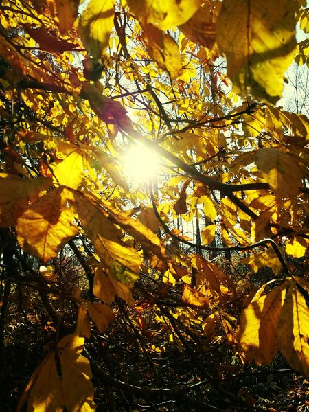 Yellow Low Angle View Tree Leaf Autumn Sunlight Nature Beauty In Nature Sun No People Growth Sunbeam Scenics Close-up Outdoors Sky Day