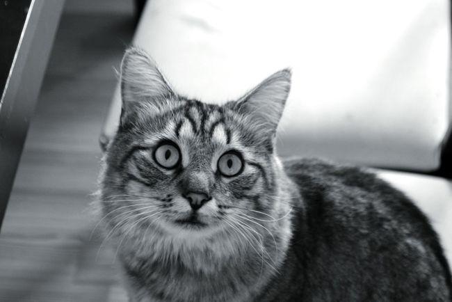 Mortimer Mortimer Cat Cat Lovers Pet Animals Black&white photobyForbik©