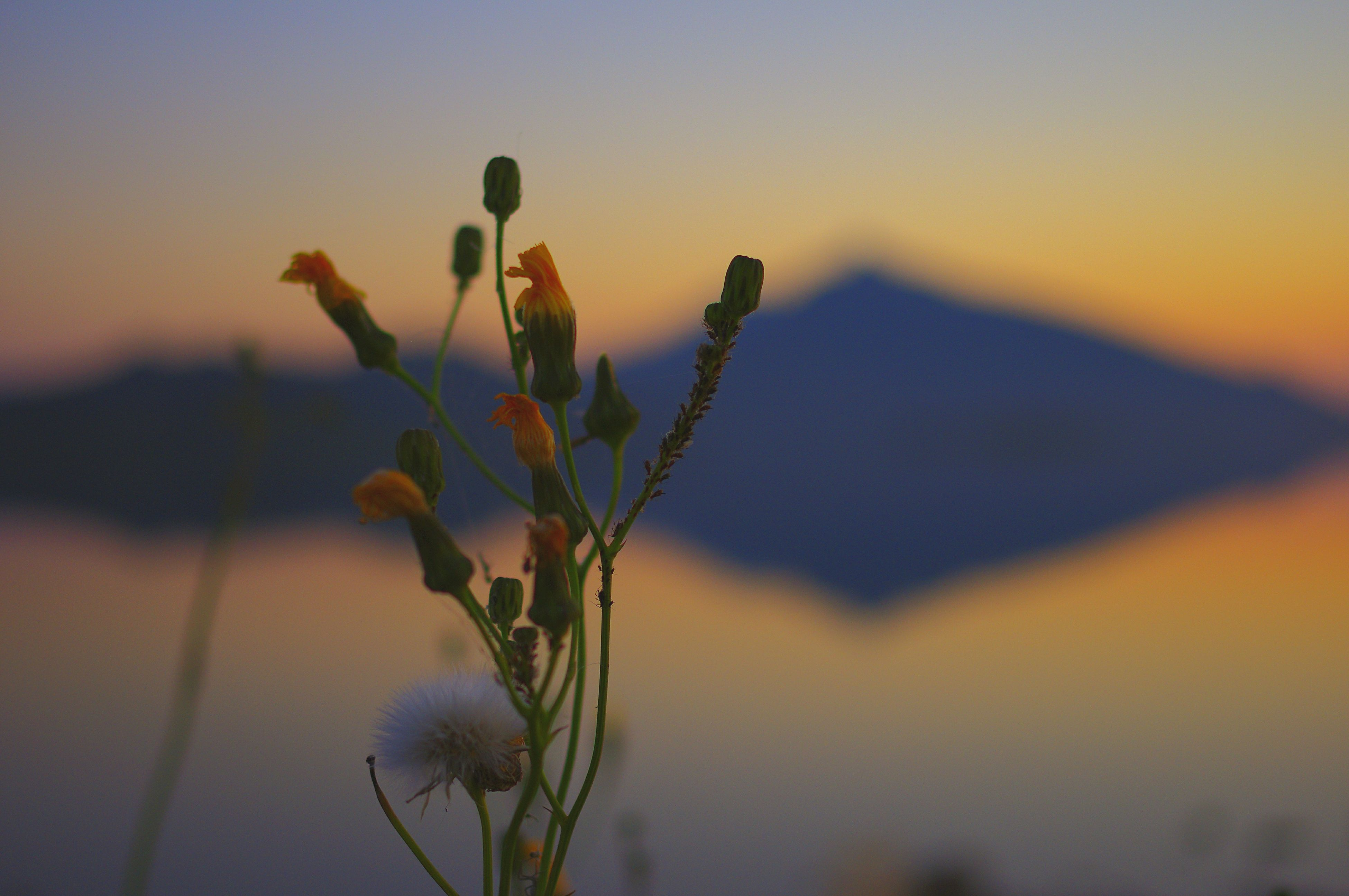 flower, growth, plant, fragility, stem, freshness, focus on foreground, beauty in nature, nature, close-up, petal, bud, sky, sunset, flower head, selective focus, blooming, tranquility, field, outdoors