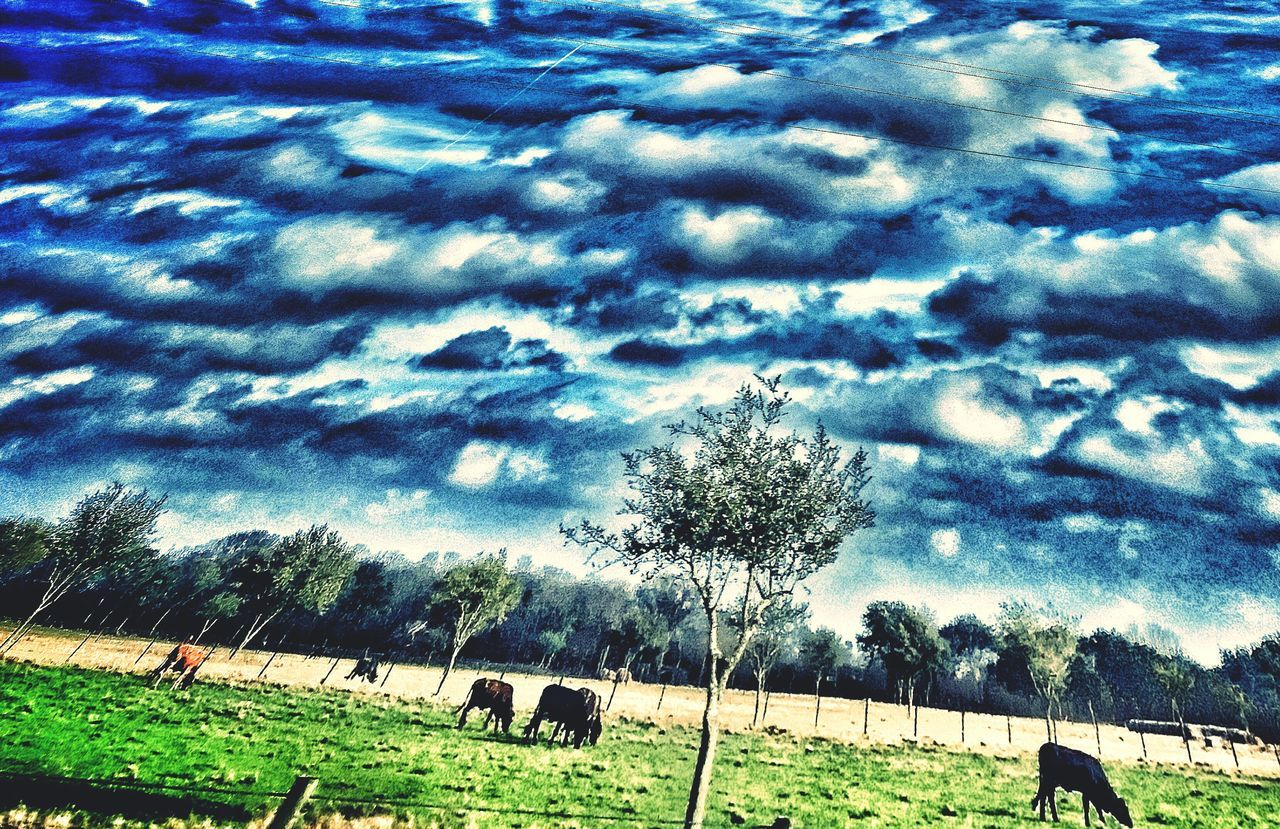 tree, cloud - sky, sky, animal themes, grass, nature, landscape, field, tranquility, day, domestic animals, beauty in nature, outdoors, large group of animals, palm tree, grazing, agriculture, mammal, scenics, livestock, no people, rural scene, growth