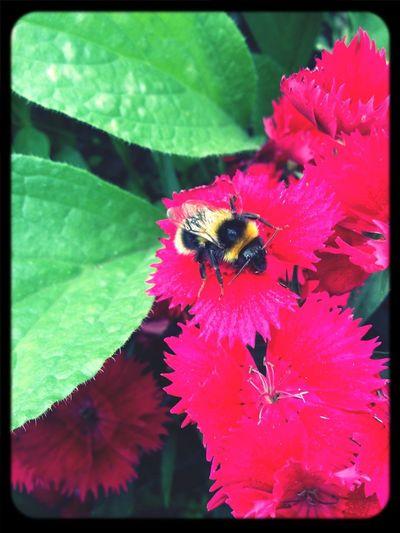 Bourdon en pleine pause ....??? EyeEm Nature Lover Bourdon Flowers