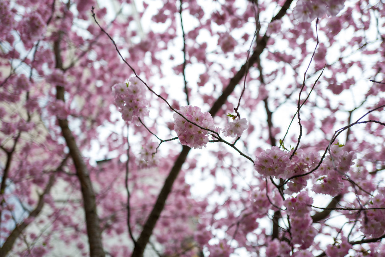 Beauty In Nature Branch Cherry Cherry Blossom Cherry Tree Close-up Day Flower Fragility Freshness Growth Low Angle View Nature No People Outdoors Pink Color Plum Blossom Spring Springtime Tree