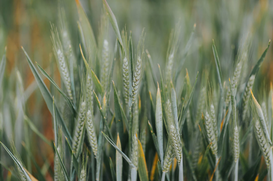 Agriculture Beauty In Nature Cereal Cereal Plant Close-up Crop  Day Ear Of Wheat Field Freshness Grass Green Color Growth Nature No People Outdoors Plant Portugal Wheat Wheat Wheat Field