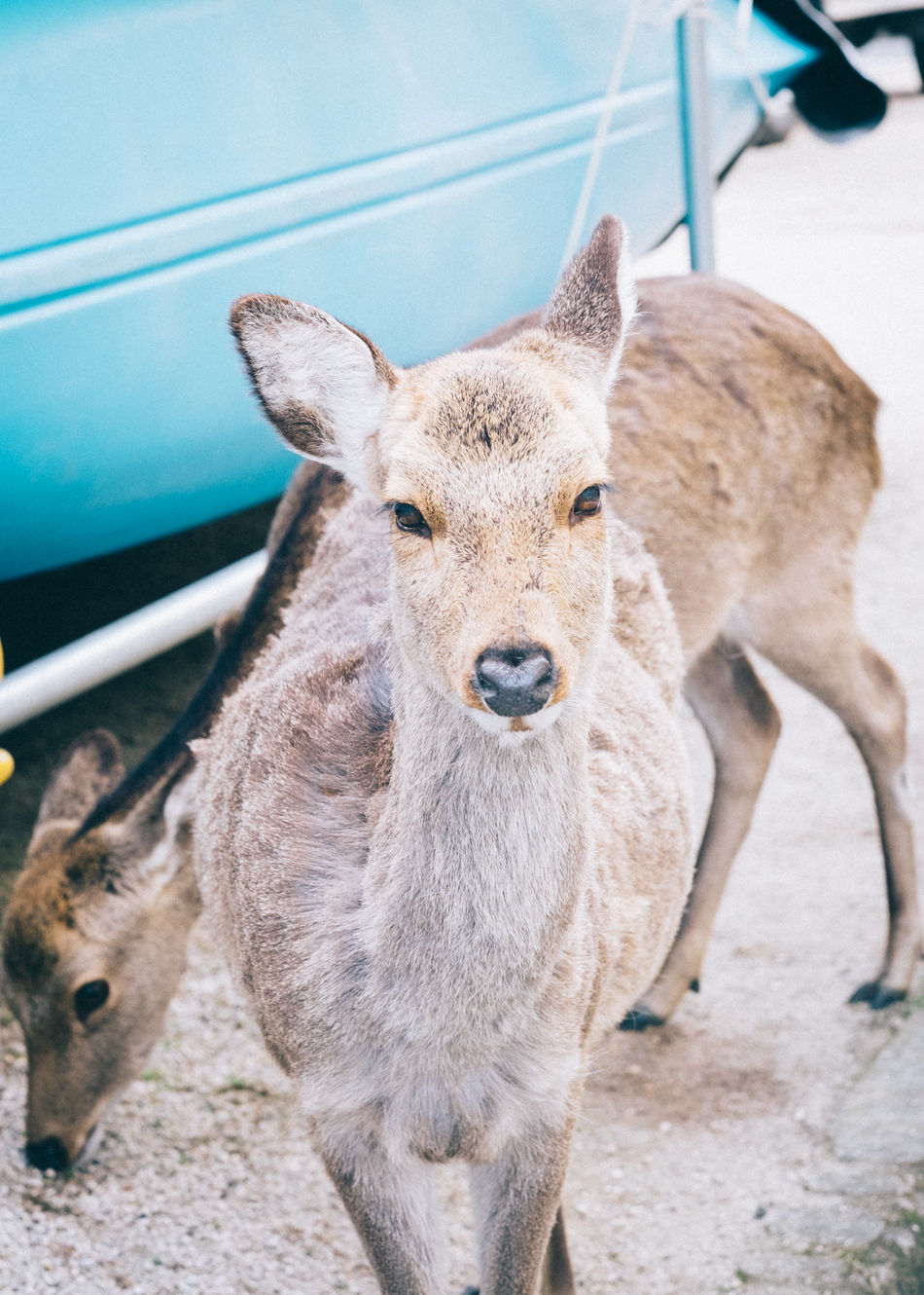 portrait Animal Themes Animals In The Wild Animals In The Wild Deer Domestic Animals Japan Scenery Looking At Camera Mammal Nature Nature_collection Naturelovers No People One Animal Outdoors Portrait Simplicity Wildlife