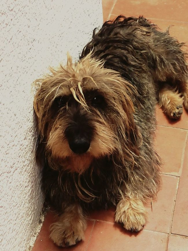Chulo, my dog 🐕 Photooftheday Animal Photography EyeEm Animal Lover Teckelpeloduro Teckel Dog My Dog Daschund
