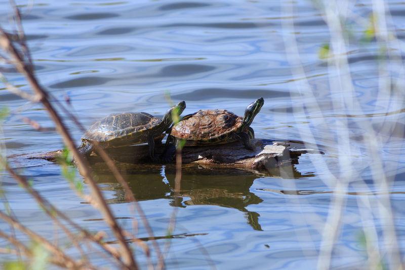 Basking turtles Lake Water Reptile Animal Wildlife Animals In The Wild No People Nature Animal Themes Turtles In The Sun Turtles Swimming Turtles Sunning Turtles Animal