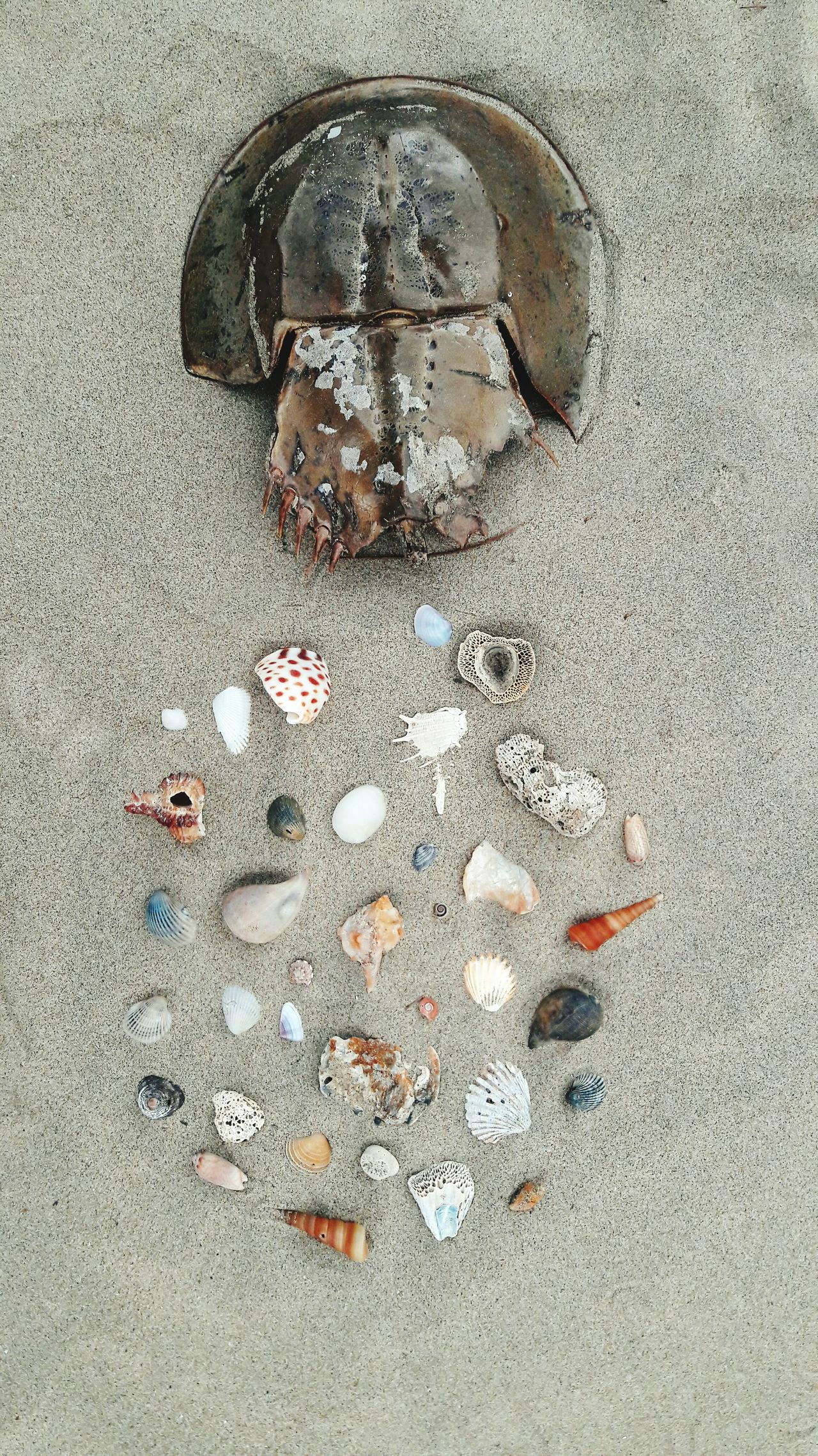 beautiful but dead. Sea Life Sea Creature Horseshoe Crab King Crab Looking Down Beach Sand Coastline The Magic Mission Shell Sandy Beach Belangkas Shell Art Shell Photography Shell Beach Shellfishes Shell Collection Shells On Sand Shells Shells Ocean Environment Beach Photography Nature Shore