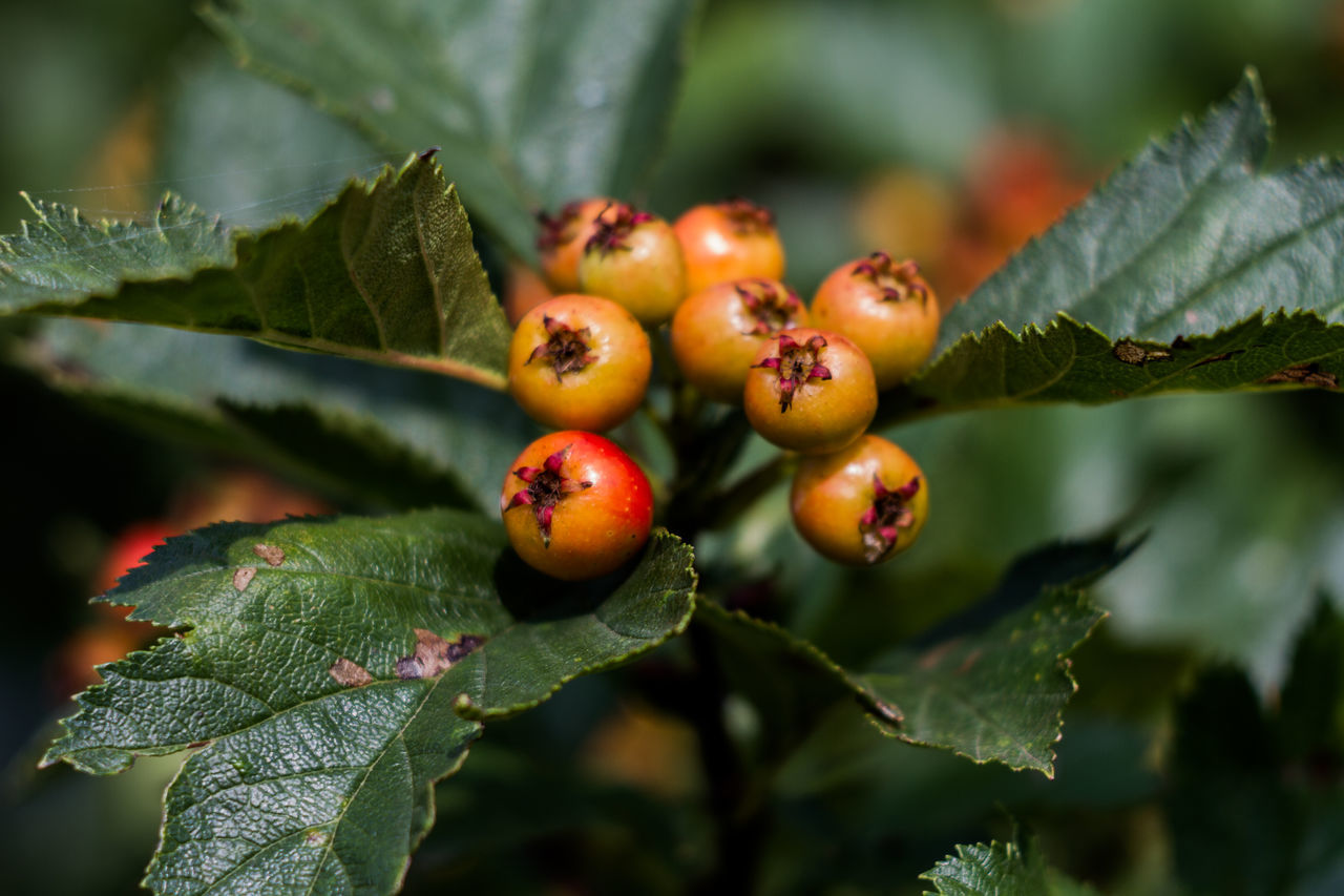 Haw Hawthorn for hearts Beauty In Nature Branch Close-up Day Focus On Foreground Food Food And Drink Freshness Fruit Green Color Growing Growth Hawaii Hawthorn Healthy Eating Leaf Nature No People Outdoors Plant Tree