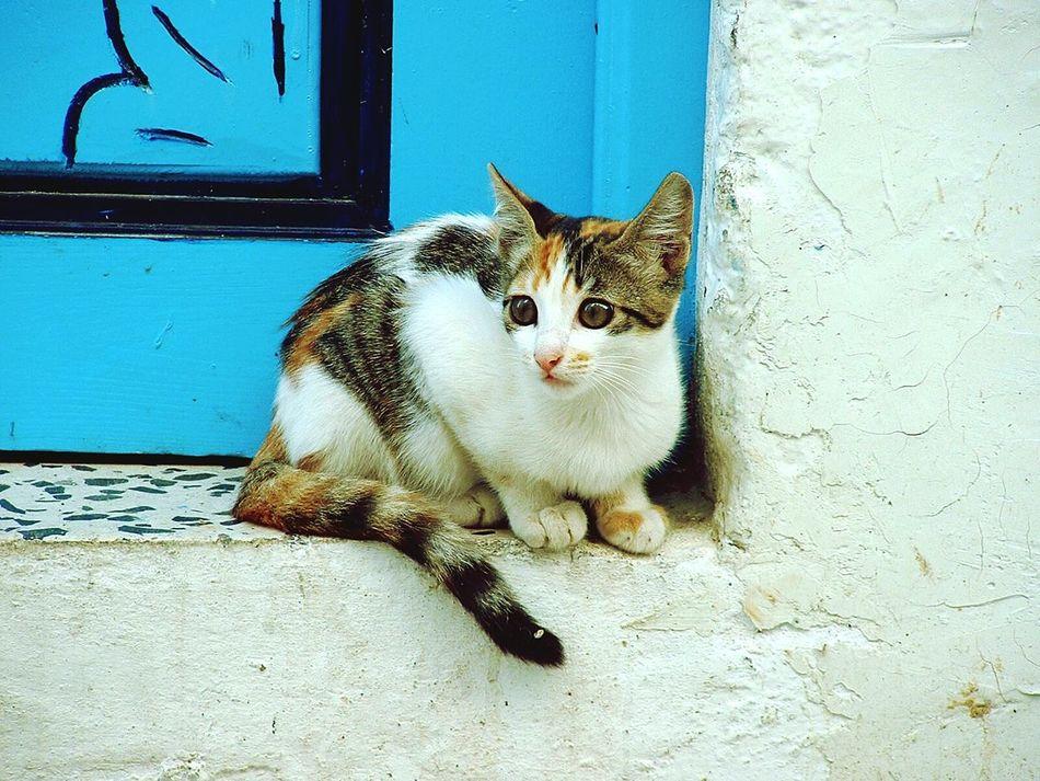 Tunisia Cat Pussycat