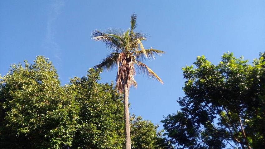 EyeEmNewHere Coconut tree, Kenya Tree Low Angle View Blue Sky Nature No People Freshness Beauty In Nature Day Outdoors Clear Sky EyeEm Kenya Eye4photography  EyeEm Selects EyeEm Gallery EyeEm Best Shots Palm Tree Infinix Infinixphotography InfinixNote2
