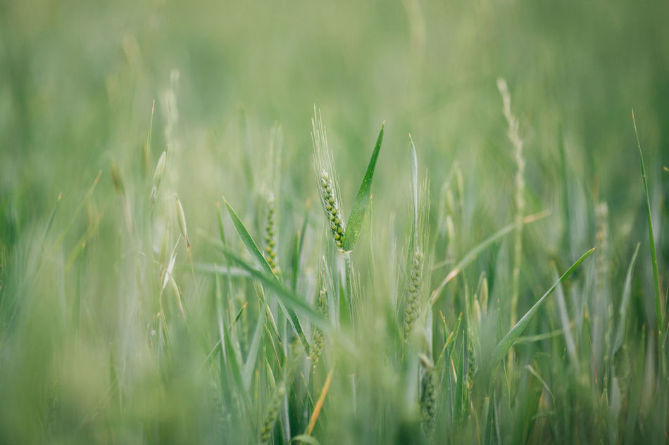 Agriculture Beauty In Nature Cereal Plant Close-up Crop  Day Ear Of Wheat Field Freshness Grass Green Green Color Growth Nature No People Outdoors Plant Rural Scene Tranquility Wheat Wheat Wheat Field