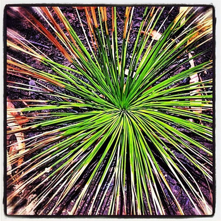 Afterthefire Grasstree Xanthorhea Nature flora thisisaustralia bliss