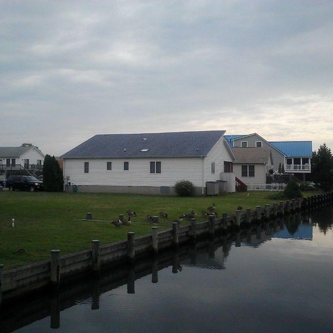 A gaggle of geese FenwickIsland