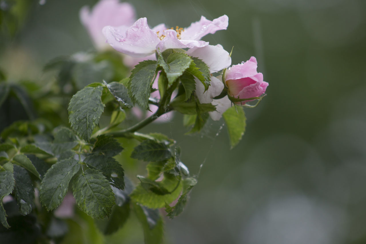 Beauty In Nature Blooming Close-up Day Flower Flower Head Focus On Foreground Fragility Freshness Growth Leaf Nature No People Outdoors Petal Pink Color Plant White Color Springtime Wet After Rain Rose - Flower White Rose RainDrop