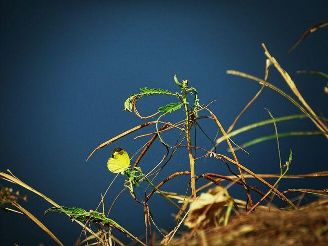 Yellowbutterfly Fields