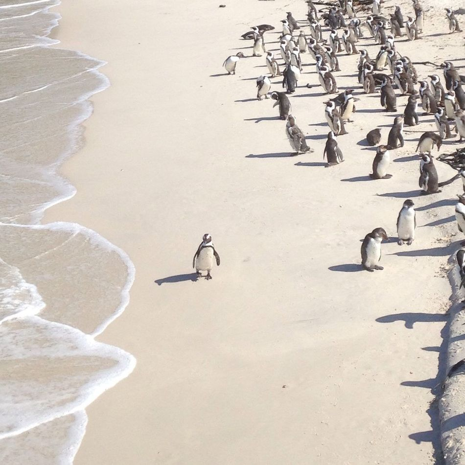 Beautiful stock photos of penguin, Animal In The Wild, Auto Post Production Filter, Beach, Beauty In Nature