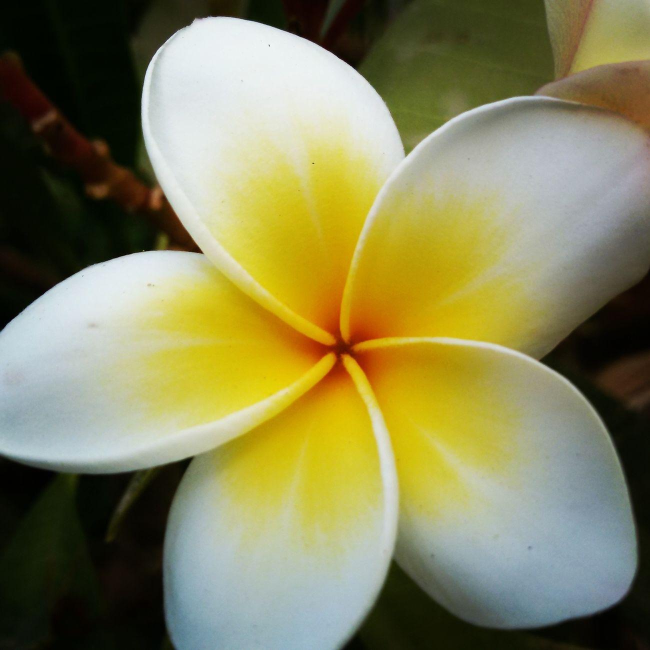 Jasmine Flower Nature Close-up Lovely Weather