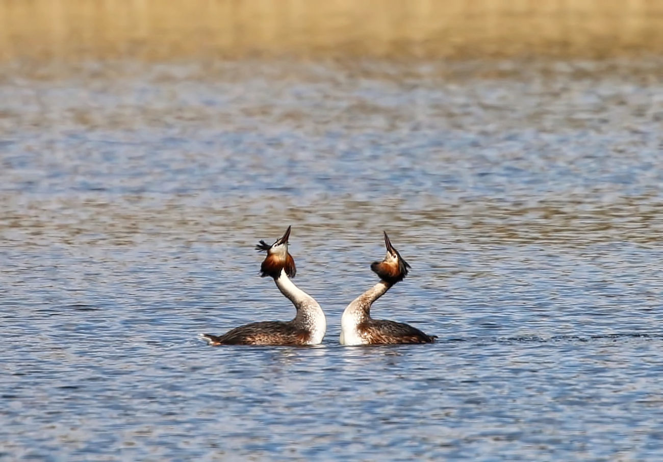 Pair of Great Crested Grebes Animal Themes Animal Wildlife Animals In The Wild Bird Day Lake Nature No People Outdoors Spread Wings Water