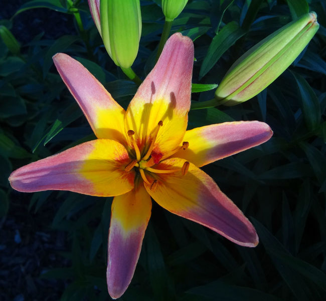 Tiger lily in my backyard Beauty In Nature Blooming Blossom Botany Close-up Day Flower Flower Head Focus On Foreground Fragility Freshness Growth In Bloom Lily Nature No People Outdoors Petal Pink Color Plant Pollen Softness Stamen Tabphotography Yellow