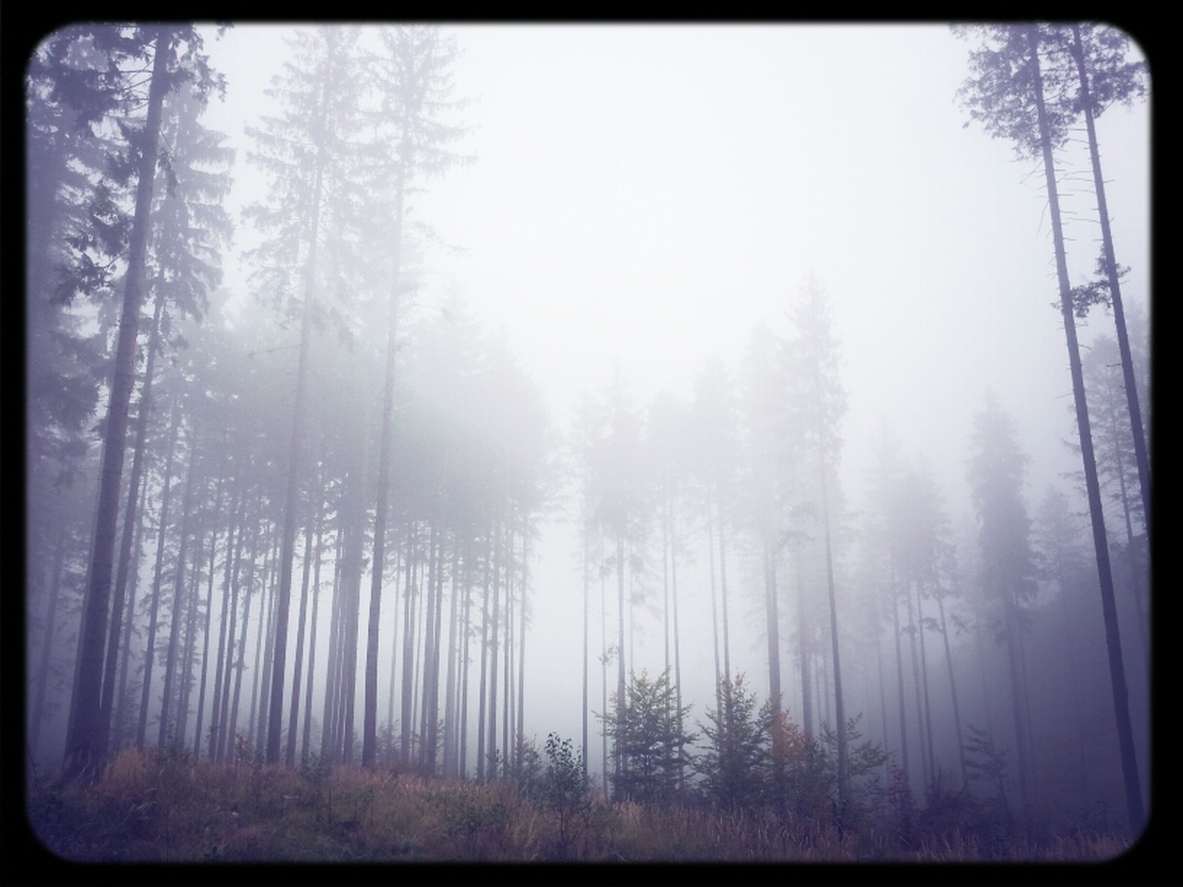 tree, forest, tranquility, transfer print, woodland, tree trunk, tranquil scene, growth, nature, auto post production filter, beauty in nature, scenics, fog, branch, non-urban scene, day, outdoors, landscape, idyllic, foggy