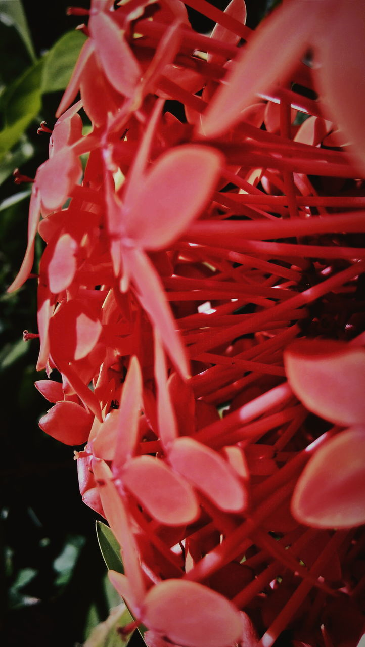 Close-Up Of Ixora Blooming Outdoors