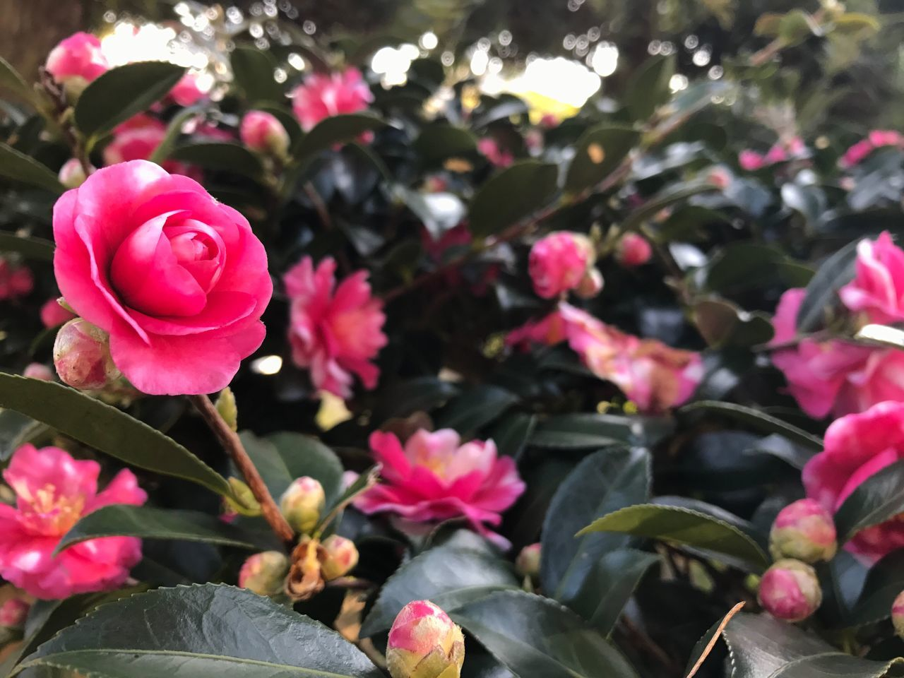 Flower Japan Camellia Winter